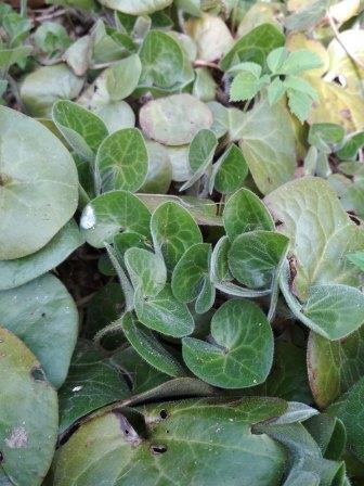 молодые листья копытня